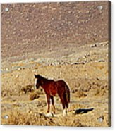 A Young Mustang Acrylic Print