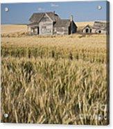 Abandoned Farmhouse In Wheat Field Acrylic Print