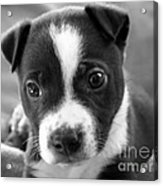 Abby The Rescued Dog Acrylic Print by Deborah Fay