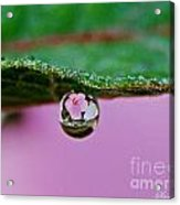 Abiscus Dew Reflection Acrylic Print
