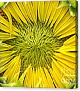 About To Be A Sunflower Acrylic Print