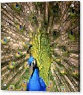 Abstract Peacock Digital Artwork Acrylic Print