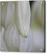 Abstract Yucca Blossom Acrylic Print