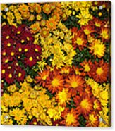 Abundance Of Yellows Reds And Oranges Acrylic Print