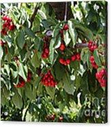 Abundant Cherries Acrylic Print