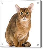 Abyssinian Cat Acrylic Print
