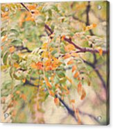 Acacia In Warm Colors Acrylic Print