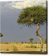 Acacia Trees On Serengeti Acrylic Print