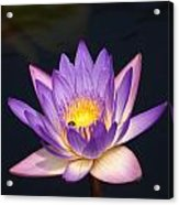 Accents On A Purple Waterlily... Acrylic Print