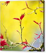 Acer Colour Acrylic Print by Tim Gainey