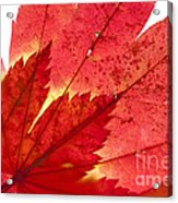 Acer From Beneath Acrylic Print