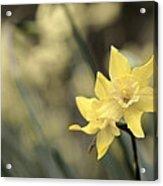 Acid Washed Daffodils Acrylic Print