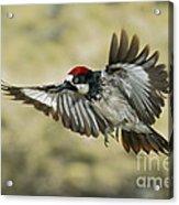 Acorn Woodpecker Acrylic Print