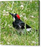 Acorn Woodpecker Foraging Acrylic Print