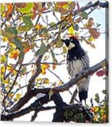 Acorn Woodpecker In Tree  In Park Sierra-ca Acrylic Print