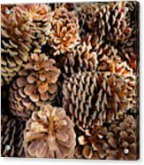 Acorns Growing On Plants Acrylic Print