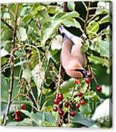 Acrobird Acrylic Print