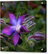 Act Of Violet Acrylic Print