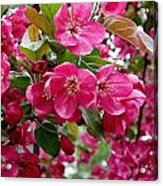 Adams Crabapple Blossoms Acrylic Print