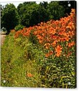 Adamsville Lilies 1 Acrylic Print