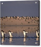 Adelie Penguin Group Commuting Cape Acrylic Print