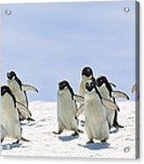 Adelie Penguin Group Running Antarctica Acrylic Print