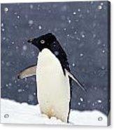 Adelie Penguin Standing In Fresh Acrylic Print