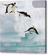 Adelie Penguins Diving Off Iceberg Acrylic Print