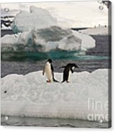 Adelie Penguins On Ice Acrylic Print