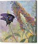 Admiral Butterfly Acrylic Print by John Zaccheo
