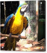 Adopted Macaw - Rescued Parrot Acrylic Print