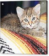 Adorable Kitten Acrylic Print