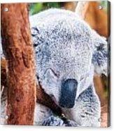 Adorable Koala Bear Taking A Nap Sleeping On A Tree Acrylic Print