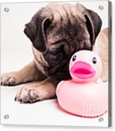 Adorable Pug Puppy With Pink Rubber Ducky Acrylic Print