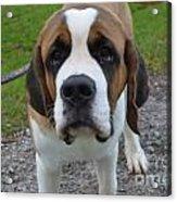 Adorable Saint Bernard Dog Acrylic Print