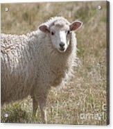 Adorable Sheep Acrylic Print