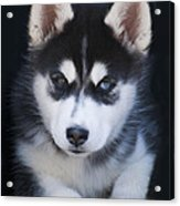Adorable Siberian Husky Sled Dog Puppy Acrylic Print