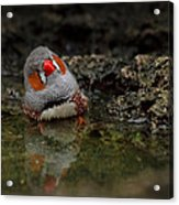 Adorable Zebra Finch Taking A Bath Acrylic Print