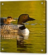 Adult And Chick Loon Pictures 2  Acrylic Print