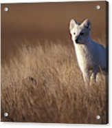Adult Arctic Fox On The Tundra In Late Acrylic Print