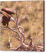 Adult Eagle With Eaglet  Acrylic Print