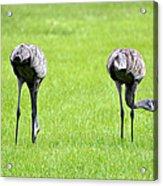 Adult Florida Sandhill Cranes Grus Canadensis Pratensis I Usa Acrylic Print
