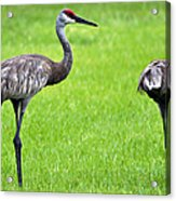 Adult Florida Sandhill Cranes Grus Canadensis Pratensis II Usa Acrylic Print