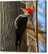 Adult Male Pileated Woodpecker Acrylic Print