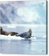 Adult Pacific Harbor Seals On An Ice Acrylic Print