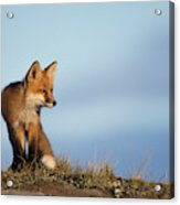 Adult Red Fox On The Tundra In Late Acrylic Print