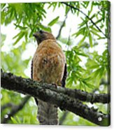 Adult Red Shouldered Hawk Acrylic Print