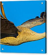 Adult Sandhill Crane Acrylic Print