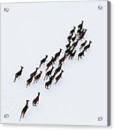 Aerial Photo Of A Herd Of Deer Running Acrylic Print