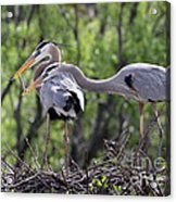 Affectionate Great Blue Heron Mates Acrylic Print